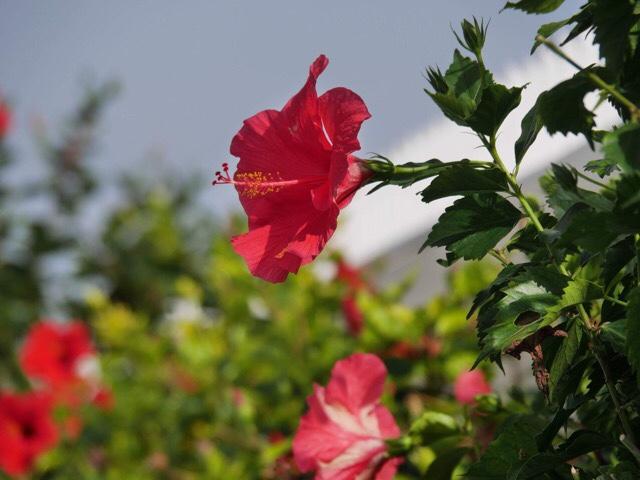 Kuva, jossa on kaunis pinkki kukka.