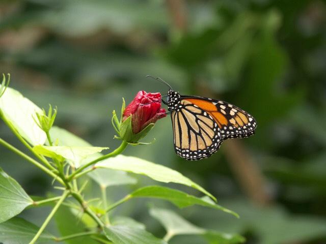 Kuva, jossa perhonen on kukkasessa.