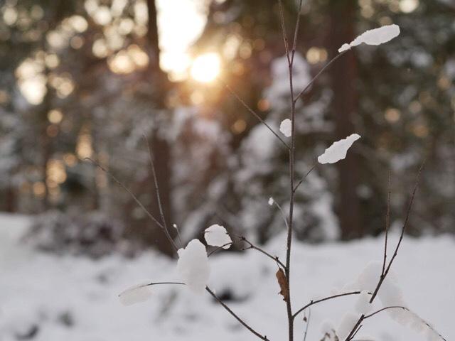 Kuva, josa talviaurinko pilkahtaa puiden takaa.