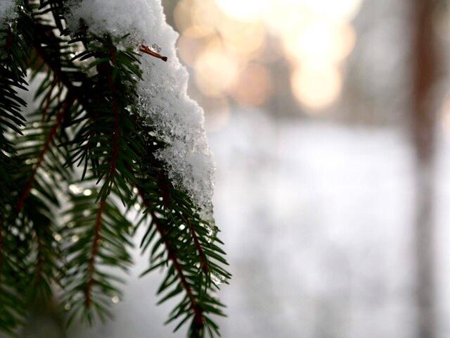 Kuva, jossa kuusenoksa ja lunta.