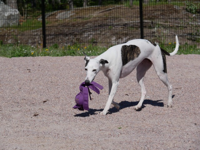 Kuva, jossa whippet koirapuistossa.