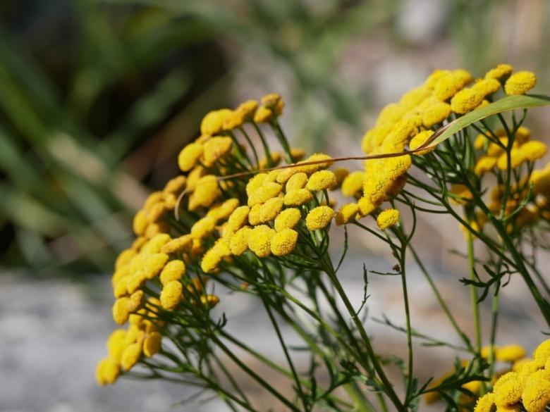 Kuva, jossa keltainen pietaryrtti