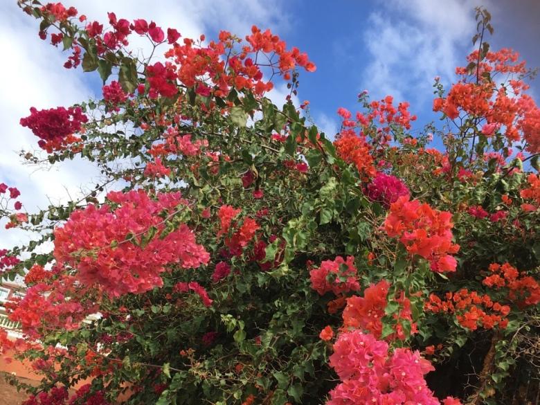 kanarian saaret teneriffa punainen kukka