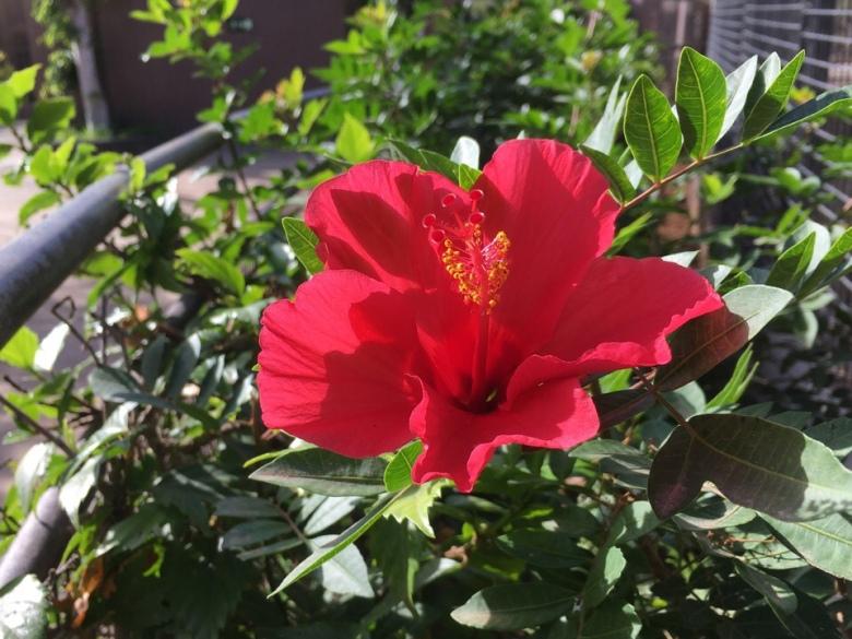 kiinanruusu hibiscus