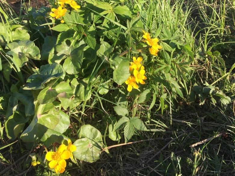 ulpukka yellow water lily