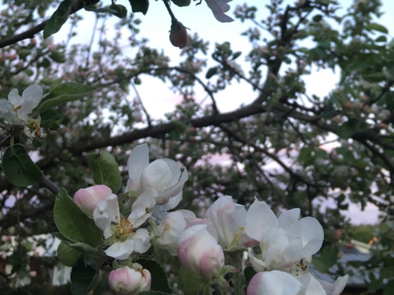 pinkki omenapuun kukka