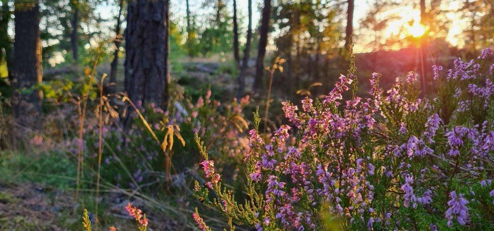 suomalaisia kanervoja ilta auringossa