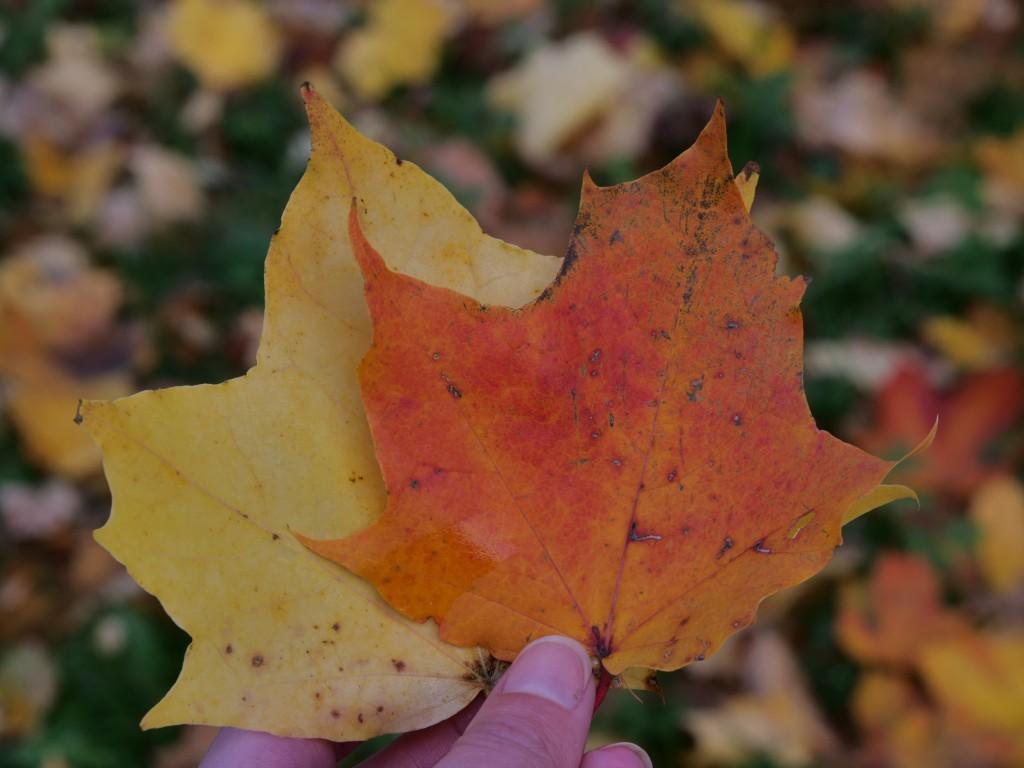 oranssi ja keltainen vaahteranlehti