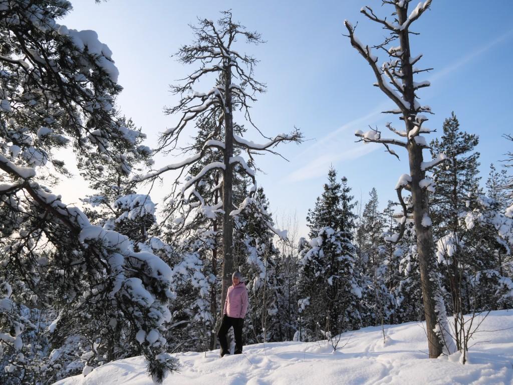 kelohonkia lumisessa metsassa