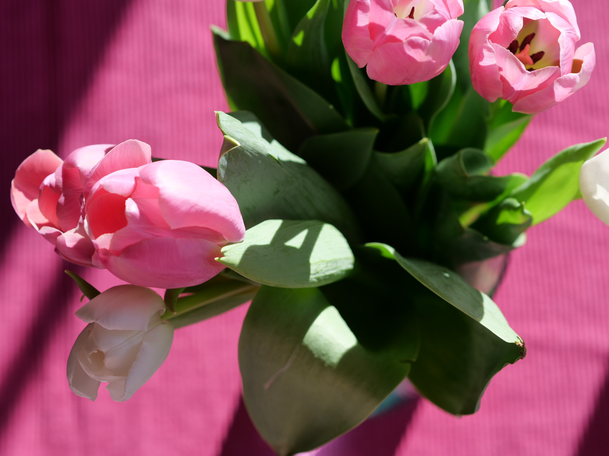 vaaleanpunainen tulppaani