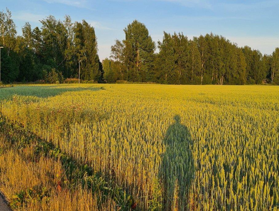 vilja kypsyy pellolla